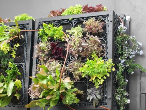 Pizzeria-mozza-edible-living-wall-lettuce